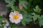 マルバストラム・ラテリティウム:鉢植え;クリックすると大きな写真になります