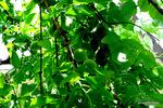 剪定前の梅の木;クリックすると大きな写真になります。