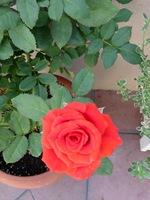 鉢植えの赤いバラ;クリックすると大きな写真になります。