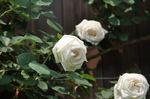 白いバラ:クリックすると大きな写真になります