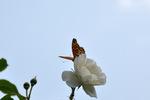 白いバラにツマグロヒョウモン♂が。;クリックすると大きな写真になります