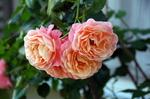 ピンクのバラ(ロジータベンデラ?);クリックすると大きな写真になります
