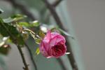 ローズアーチの赤いバラ;クリックすると大きな写真になります