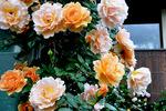 クリーム色とダイダイのバラ;クリックすると大きな写真になります