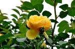 黄色いバラ;クリックすると大きな写真になります