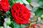 赤いバラ;クリックすると大きな写真になります