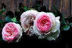 ピンクのバラ;クリックすると大きな写真になります