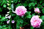 ピンクのバラとジキタリス;クリックすると大きな写真になります