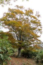 登山道の真ん中に立つ大きなブナの樹;クリックすると大きな写真になります