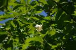 ホウの木の花:大久保;クリックすると大きな写真になります