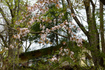 山桜とHutte Hachi;クリックすると大きな写真になります