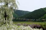 大町藤公園:和田山;クリックすると大きな写真になります