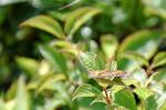 斑紋異常のウスイロヒョウモンモドキ:クリックすると大きな写真になります