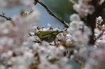 満開の桜にメジロ;クリックすると大きな写真になります