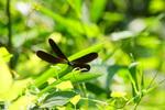 ハグロトンボ:堺ふるさと自然の森;クリックすると大きな写真になります。