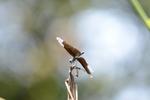 チョウチョトンボ:堺ふるさと自然の森;クリックすると大きな写真になります。