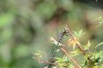 オニヤンマ:松尾寺公園;クリックすると大きな写真になります。