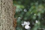 アブラゼミ:桃山台公園;クリックすると大きな写真になります。