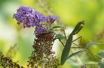 カマキリ:花の文化園;クリックすると大きな写真になります。