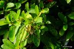 ナガコガネグモ:檜尾;クリックすると大きな写真になります。
