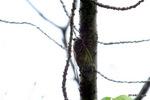クマゼミ:桃山台公園;クリックすると大きな写真になります。