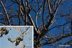 桐の木:松尾寺公園;クリックすると大きな写真になります。