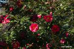 山茶花:松尾寺;クリックすると大きな写真になります。