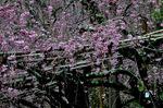 枝垂れ桜;クリックすると大きな写真になります