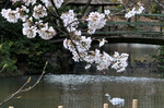 桜とアオサギ;クリックすると大きな写真になります