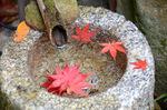 手水鉢に楓の落ち葉:教林坊;クリックすると大きな写真になります