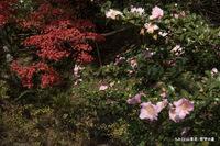山茶花とカエデ:哲学の道;クリックすると大きな写真になります。