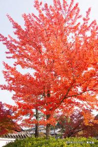花の木(ハナカエデ);クリックすると大きな写真になります。