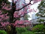 庭の紅梅は満開:がんこ二条庭園;クリックすると大きな写真になります。
