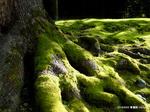 大楠の根っこ:青蓮院;クリックすると大きな写真になります。