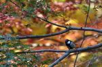 楓にシジュウカラ;クリックすると大きな写真になります