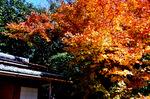 詩仙堂残月軒横の楓;クリックすると大きな写真になります