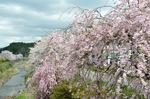 京北弓削川堤の桜;クリックすると大きな写真になります