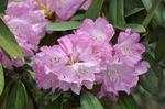 石楠花;クリックすると大きな写真になります