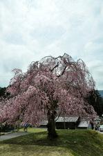 九重桜;クリックすると大きな写真になります