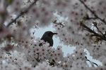 満開の桜にヒヨドリ;クリックすると大きな写真になります