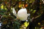タイサンボクの花:クリックすると大きな写真になります