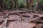 木の根道:クリックすると大きな写真になります