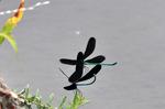 ハグロトンボの交尾;クリックすると大きな写真になります