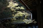 永観堂、楓の新緑;クリックすると大きな写真になります