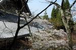 永観堂の桜;クリックすると大きな写真になります
