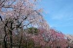 野村別邸のしだれ桜;クリックすると大きな写真になります