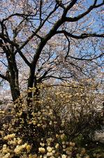 ミツマタの花と桜:哲学の道;クリックすると大きな写真になります