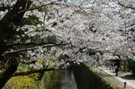 哲学の道での桜;クリックすると大きな写真になります
