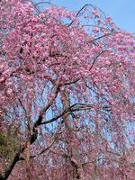 お屋敷の枝垂れ桜;クリックすると大きな写真になります