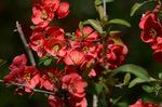 ボケの花;クリックすると大きな写真になります